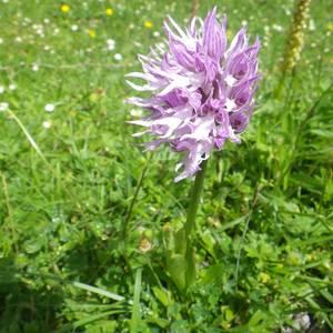 Orchis italica: Harribitxia Arrañon