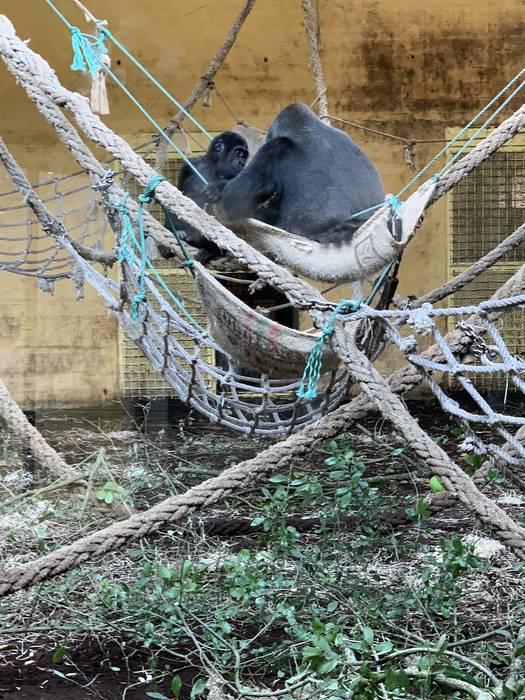 Gorila familia