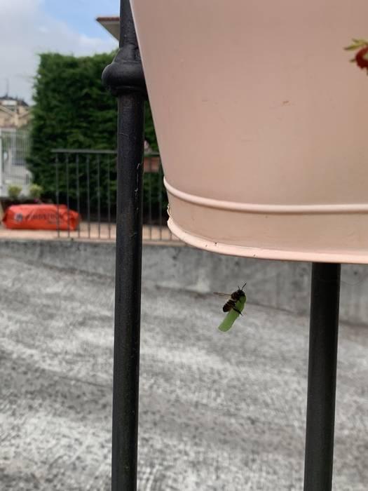 Megachile centuncularis (Aiaraldea)
