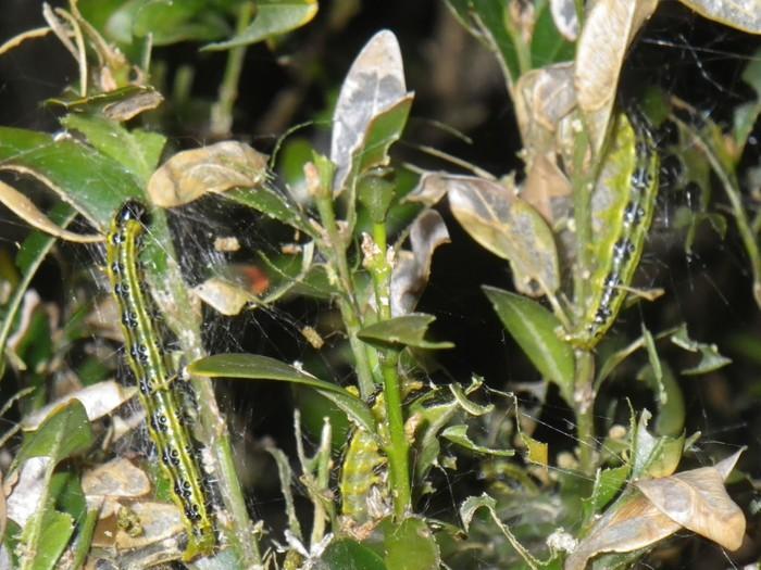 Txinako sitsa, ezpelaren mehatxu larria